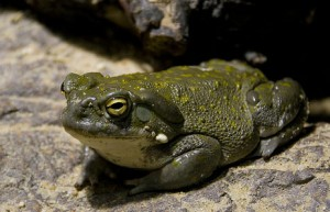 Colorado River Toad photo